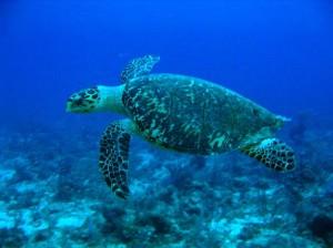 A hawksbill sea turtle, an endangered species