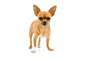 FBI Agent Shot A Chihuahua Just Like This One/istock photo