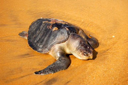 Loggerhead sea turtle/istock photo