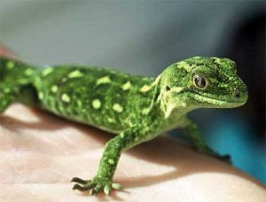 Gecko/new zealand govt photo