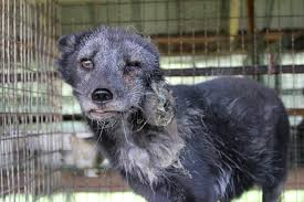 A victim of a fur farm, via Wikipedia.